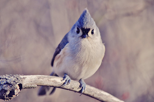 Tufted Titmouse | by Spring Noel