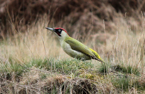 Green Woodpecker | by GillK2012