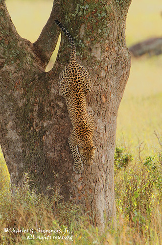 Leopard coming down from its tree perch _GS13133 | by WildImages