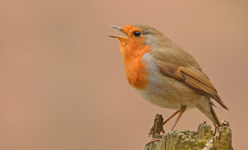 Robin - Singing his head off | by Paul-nature