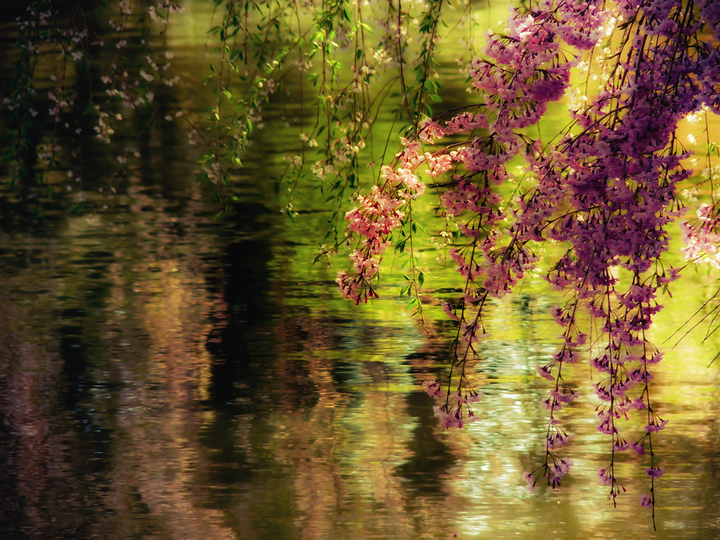 Echoes of Monet - Cherry Blossoms Over a Pond - Brooklyn B… | Flickr