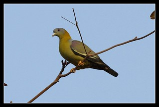 Yellow footed green pigeon | by Raghuvir solanki