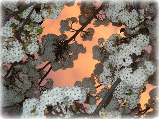 ~~Flowering Plum #1~~ | by TravelsThruTheUniverse