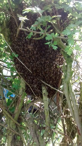 bee swarm June 16 3