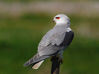 Black-shouldered Kite | by anacm.silva