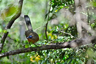 Ground dweller Giant Coua perching on a tree branche | by Lytah Razafimahefa
