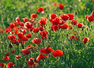 red poppies everywhere | by smokykater - 550k+ views