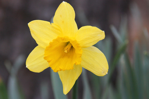 Daffodil | by Flower Factor