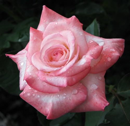 Rain Kissed Rose | by Cher12861 (Cheryl Kelly on ipernity)