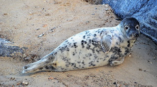 Young seal at Horsey | by Andrew Boxall