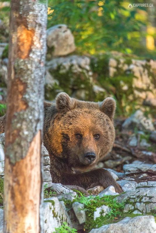 Brown bear 10 - Slovenia