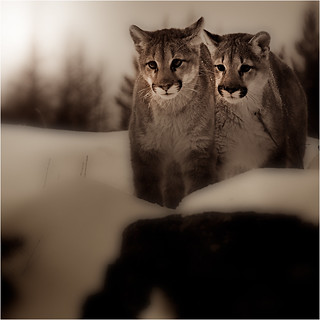 Cougar Sisters | by josefontheroad