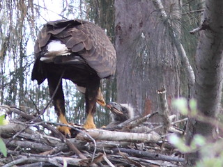 Bald Eagle male feeding eaglet 8-20120217 | by Kenneth Cole Schneider