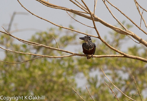 Giant Kingfisher, Farasuto nature reserve, The Gambia | by www.kevinoakhill.com