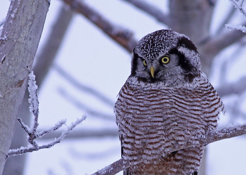 Northern Hawk Owl...#5 | by Guy Lichter Photography - 3.7M views Thank you