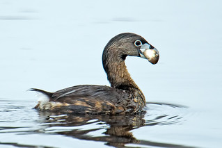 Pied-billed Grebe | by Brian E Kushner