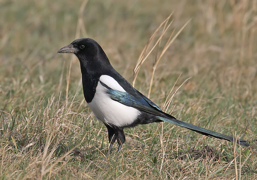 Magpie - Pica pica | by Roger H3