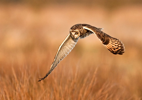 Amazing Grace!!   (Short Eared Owl) | by marsch1962