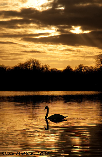 Lough Sheelin Swan at Dusk.... | by Ossie13 aka Steve