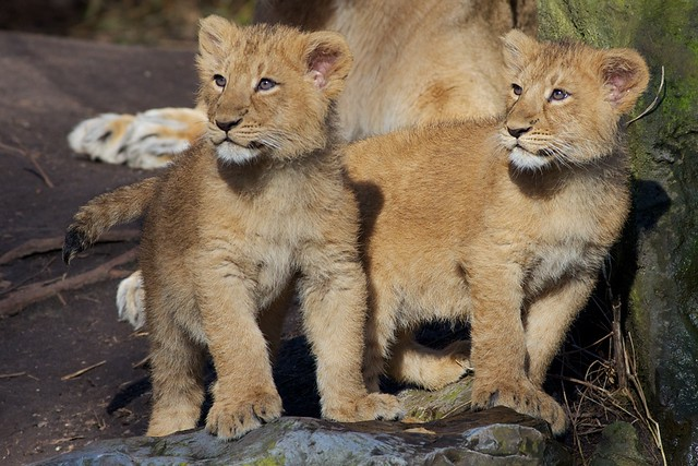 asiatic lion cubs LSVK8276