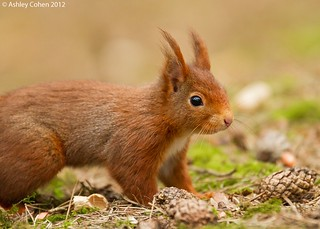 Red Squirrel - Could you just move back a little..please | by Ashley Cohen Photography