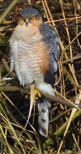 Sparrowhawk.-Accipiter Nisus. | by Zooman2009