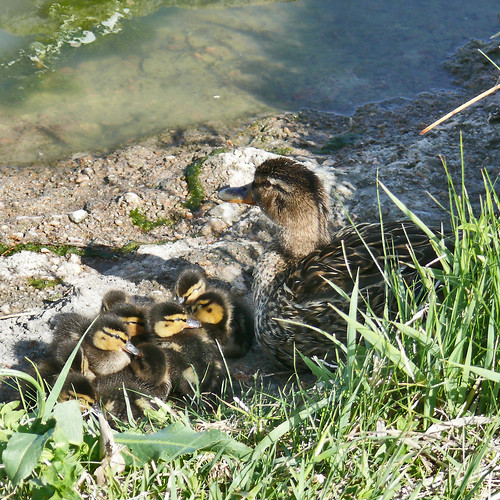 Mallard hen and chicks | by colographicalchemy I'm back