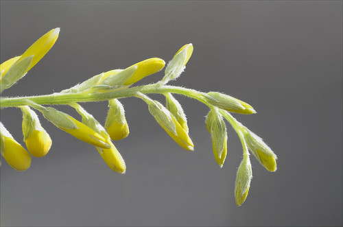 Brem (Cytisus scoparius) | by Hans Kool