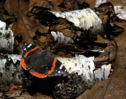 Red Admiral Butterfly | by shawnee's sky