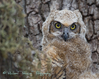 Baby Great Horned Owl | by Michael Pancier Photography
