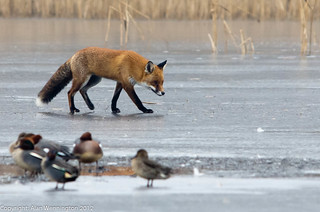 Fox on the ice eyeing up the ducks | by Alan Wennington