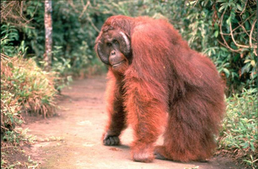 orangutan Adult male