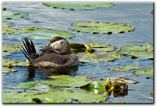 Ruddy Duck | by mlibbe