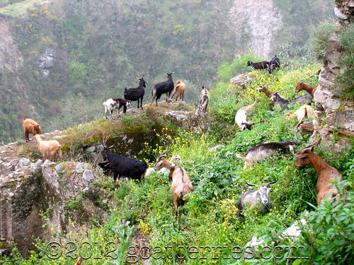Goats goats goats galore! | by Michelle Fabio