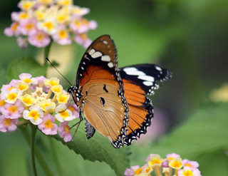 Plain tiger butterfly 15_edited-1 | by mishaleppert