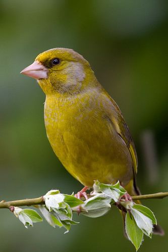 IMG_5617 Greenfinch | by Graham N Brownlow