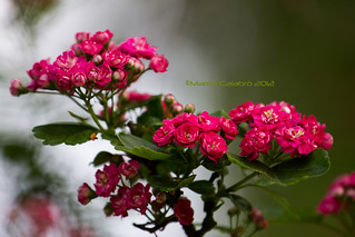 Little roses | by Marco Calabro'