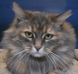 KALA, Long Haired Diluted Torti Holding Slightly More Still | by Pixel Packing Mama