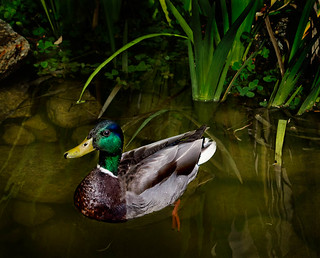 Mr. mallard in the pond | by Celeste M (more off than on)