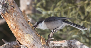 Gray Jay | by Laura Erickson