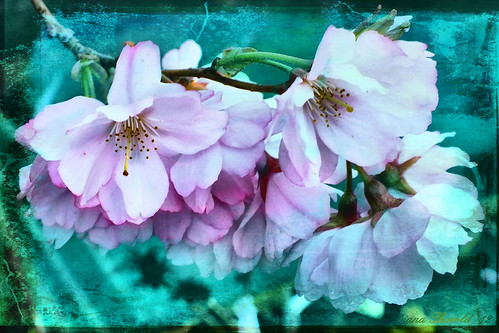 The Magic of Blossom | by Diana Thorold.