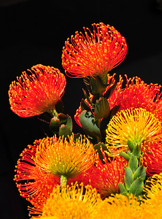 Flaming Protea | by Bill Gracey 17 Million Views