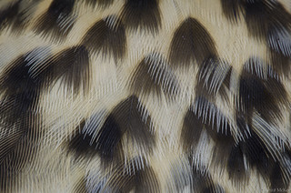 Thrush feathers | by KeiraMcKee