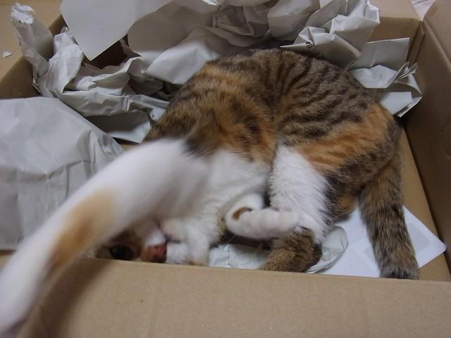 猫の段ボール箱好きは異常