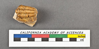 Unidentified Trilobite | by california academy of sciences geology