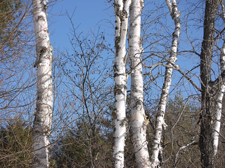 Birches | by grongar