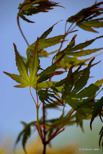 New Japanese Maple Foliage in the wind | by ocimum_nate