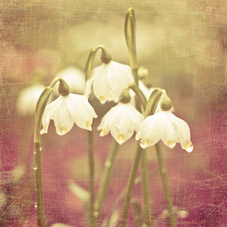 Snow Drops in grounds of Drum Castle (Florabella texture) | by Greig Reid