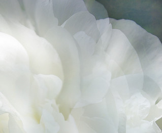 Peony and texture | by Jan_ice