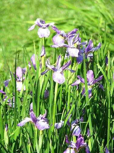 'Illini Charm' iris